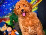 Tüy Dökülmesi  Olmayan Toy Poodle Yavrularımız