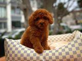 En Iyi Kalite Tcup Toy Poodle  Yavrularımız