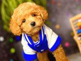 Muhteşem Teacup Boy Orjinal Toy Poodle