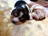 Irk Ve Sağlik Garanti̇li̇ Safkan Eli̇zhabeth Beagle