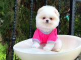 Sahibinden Orjinal Gülen Pomeranian Boo