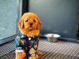 Show Kalıte Toy Poodle  Yavrularımız