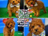 Toy Poodle Safkan Brown Yavru Oğlumuz Fistik
