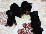 Yorkshire Terier Yavruları