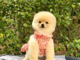 Sahibinden en Tatlı Irk Pomeranian Boo