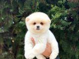 Safkan Pomeranian Boo