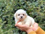 Sahibinden Orjinal Pomeranian Boo
