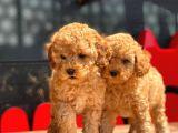 Apri̇cot Toy Poodle Bebekler