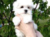 Safkan Maltese Terrier Yavrularımız