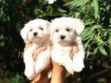 Irk ve Sağlık Garantili Maltese Terrier Yavrularımız