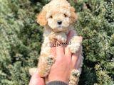 Sevimli Apricot Toy Poodle Yavrumuz