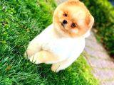 Daha Güzeli̇ Yok Teacup Pomerani̇an Teddy Bear Erkek