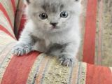 British Shorthair Gri
