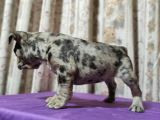 Merle French Bulldog Yavrumuz