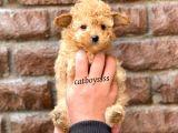 Tüy Dökmeyen Koku Yapmayan Toy Poodle Yavrumuz