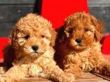 Toy Poodle Bebekler