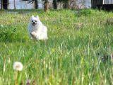 FCİ Evraklı Dişi Pomeranian