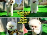 Bembeyaz Özel Seri Safkan Pomeranian Kızımız Lita