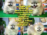 T-cup Safkan Boo Pomeranian Oğlumuz Junior