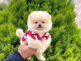 Disi Pomeranian Boo