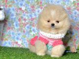 Pomeranian Boo Yavrulari