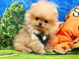 Pomeranian boo yavrulari... ♡