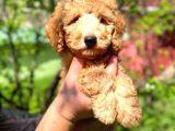 Orjinal Toy Poodle