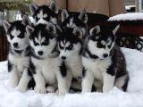 Sibirya Kurdu (Husky) Yavruları