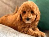 2.5 Aylik Di̇şi̇ Toy Poodle Yavrularimiz