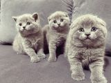 Baby Face Koca Kafa Scoti̇sh&bri̇ti̇sh Yavrular
