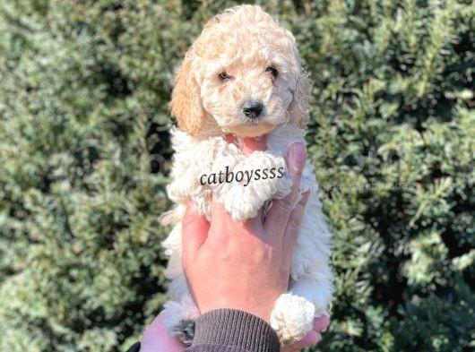 Tüy Dökmeyen Koku Yapmayan Apricot Erkek Toy Poodle