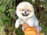Safkan Pomeranian Yavruları