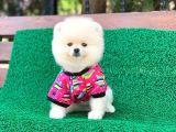 Orjinal Pomeranian Erkek