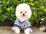 3 Aylık Pomeranian Boo Erkek