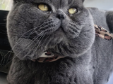 Full secereli British Shorthair