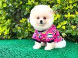 Prenses Kızımız Pomeranian