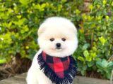 Yakışıklı Oğlumuz Pomeranian