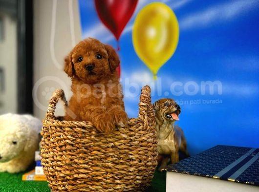 Muazzam Güzelli̇kte Toy Poodle Yavrusu