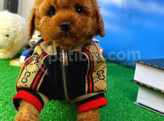 A Plus Kali̇tede Wc Eği̇ti̇mli̇ Toy Poodle Yavrusu