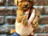 Red Brown Toy Poodle Erkek Yavrumuz