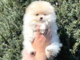 Sevimli Teady Bear Pomeranian Boo Erkek Yavrumuz