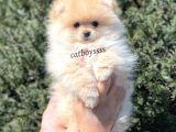 Irk Ve Sağlık Garantili Pomeranian Boo Erkek Yavrumuz