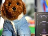 Red Brown Toy Poodle Oğlumuz Pody