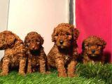 Safkan Toy Poodle Yavrularimiz