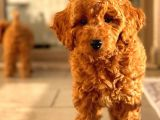 Sağlik Garanti̇li̇ Red Toy Poodle Yavrular