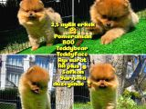 Yarışma Duzeyinde Safkan Boo Pomeranian Oğlumuz Eddy