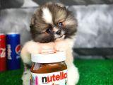 Tüy Dökülmesi Az Olan Pomeranian Yavrularımız