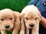 Mükemmel Kalitede Safkan Babyface Küt Burun Golden Bebekler