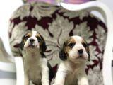 Orjinal Irk Ve Sağlık Garantili Beagle Yavrular