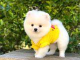 Ayı Surat Pomeranian
